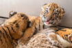 El zoológico Cleveland Metroparks celebra el nacimiento de cachorros de tigre en peligro de extinción