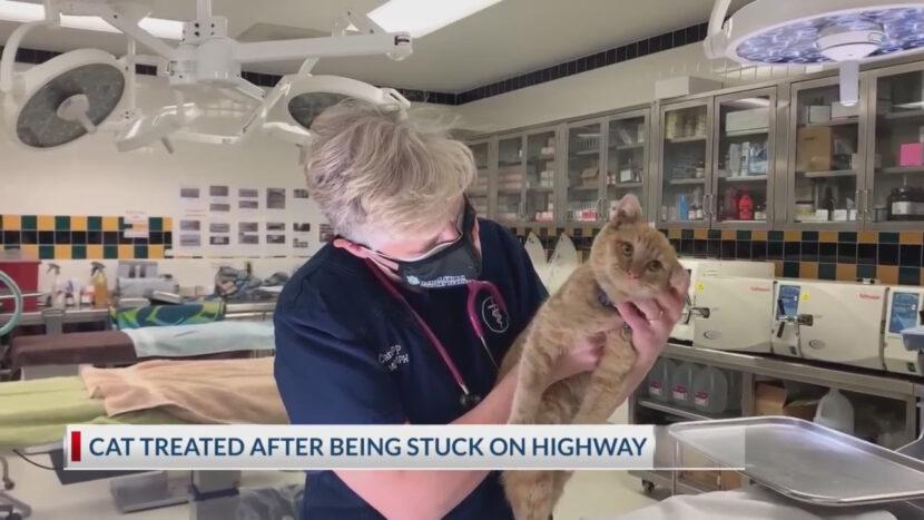 Gato rescatado del pilar de la carretera de El Paso ahora está siendo tratado