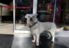 Perro pasó días fuera del hospital esperando a su dueño