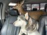 Venado mascota conocido por su vínculo con 2 perros husky es incautado por las autoridades