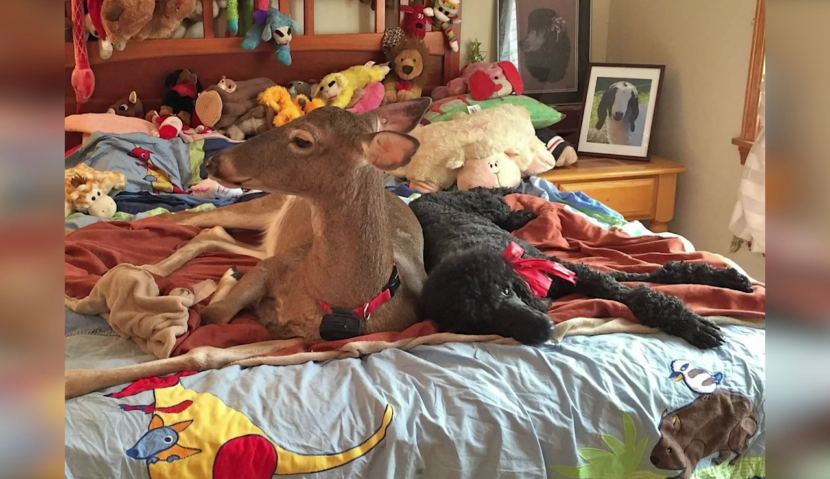 Ponerse al día con la sensación de Internet Dillie the deer, ahora de 17 años