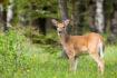 Enfermedad de emaciación crónica identificada en ciervos del noreste de Ohio