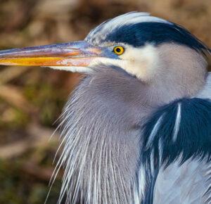 Fotógrafo captura una imagen impresionante de Great Blue Heron en el Parque Nacional Cuyahoga Valley