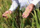 Escasez de fertilizantes afectará próxima cosecha de arroz